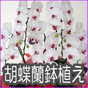 胡蝶蘭鉢植え
